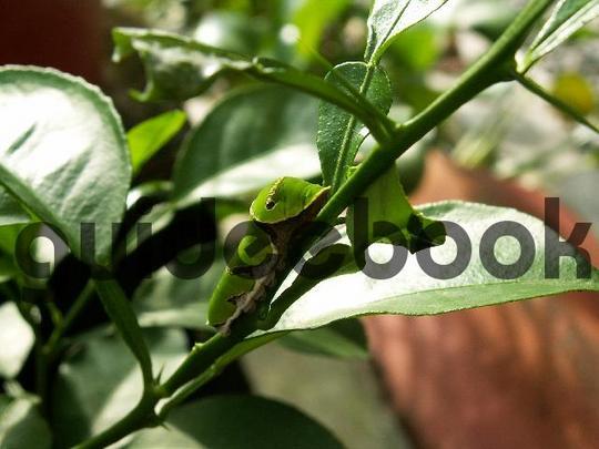 Pay for Orange Dog Caterpillar On Orange Leave