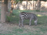 Thumbnail Zebra in a zoo