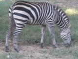 Thumbnail Wild zebra