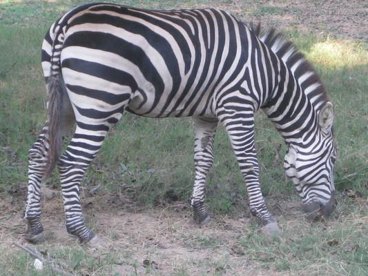 Pay for Wild zebra