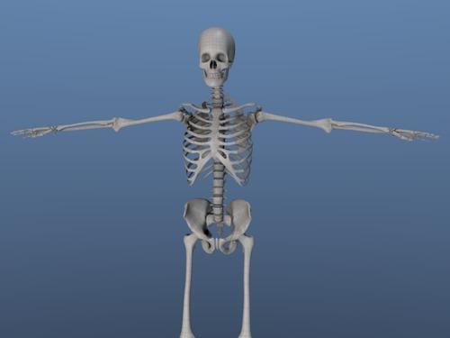 Human Skeleton 3d System Download Misc border=