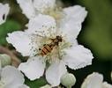 Thumbnail Biene auf Blüte