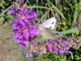 Thumbnail Schmetterling auf Blüte