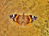 Thumbnail Schmetterling auf Brautschau