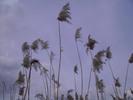 Thumbnail AKZ 01 Strandgrass