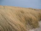 Thumbnail Strandgrass