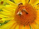 Thumbnail Postermotiv HDR - Sonnenblume mit Bienen