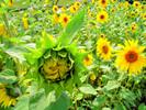 Thumbnail Postermotiv HDR - Sonnenblume aufblühend 1
