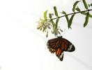 Thumbnail butterfly eats nectar
