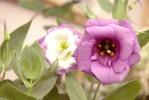 Thumbnail violet rose