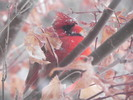 Thumbnail Cardinal In a Japanese Maple -- Stock License