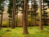 Thumbnail Pine Trees, Woodland near Coniston Water UK
