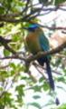 Thumbnail Female Quetzal, Bird