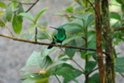 Thumbnail Magnificent Hummingbird - 01 - 3264 x 2176