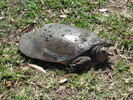 Thumbnail Tortoise in Grass