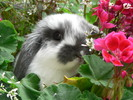 Thumbnail Rabbit in Flowers