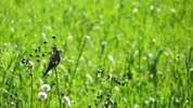 Thumbnail Goldfinch Bird