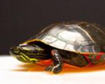 Thumbnail Desktop Wallpaper Turtle