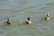 Thumbnail ducks