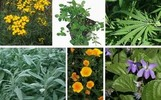 Thumbnail edible and medicinal plants & herbal medicine