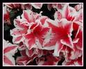 Thumbnail Blüten gerahmt 1