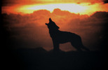 Thumbnail Wolf Howling at Sunset Mexico