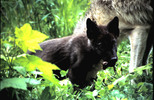 Thumbnail Wolf Cub Montana