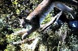Thumbnail Lynx Jumping Montana