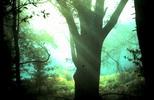 Thumbnail Trees with Slanty Light Santa Cruz CA