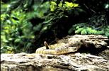 Thumbnail Rattlesnake Camouflaged Montana