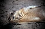 Thumbnail Elephant Seal Pup Ano Nuevo CA