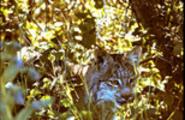 Thumbnail Lynx in Underbrush Montana