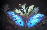 Thumbnail Blue Morpho Butterfly Monteverde Costa Rica