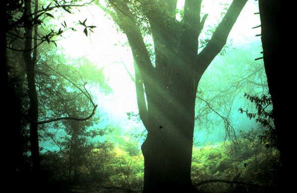 Pay for Trees with Slanty Light Santa Cruz CA