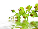 Thumbnail Striking Green Orchid
