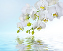 Thumbnail White orchids reflecting in water