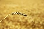 Thumbnail golden wheat ear. south Ukraine