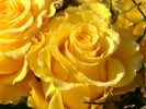 Thumbnail Yellow Rose