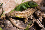 Thumbnail Lizards