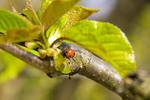 Thumbnail Lady beetle
