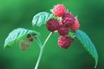 Thumbnail Raspberry