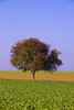 Thumbnail Tree in summer