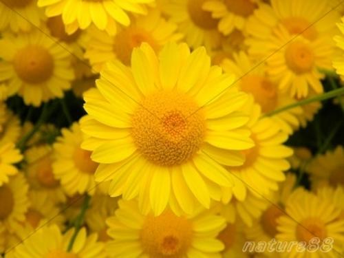 Pay for Yellow Daisy Hobart Tasmania ( High Resolution)