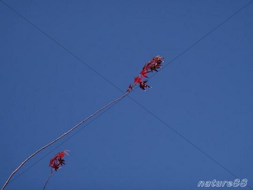 Pay for Red Leaves and Blue Sky ( High Resolution )