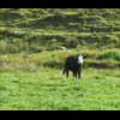 Thumbnail Royalty Free Stock Footage: New Zealand Cow: NL00015
