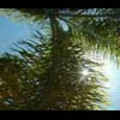 Thumbnail Royalty Free Stock Footage: Palm Trees: NL00147
