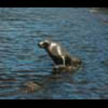 Thumbnail Royalty Free Stock Footage: Seals: NL00151
