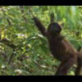 Thumbnail Royalty Free Stock Footage: Monkeys: NL00328