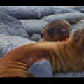 Thumbnail Royalty Free Stock Footage : Sea Lion : NL00396