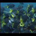 Thumbnail Royalty Free Stock Footage : Fish : NL00398